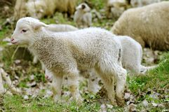 Young and cute Lamb in foreground, surrounded by sheep