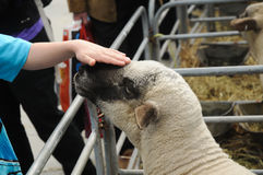Young cute lamb with gentle hand soft touch Royalty Free Stock Images