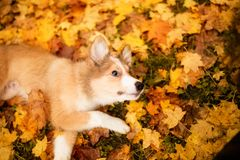 Young red border collie dog playing with leaves in autumn royalty free stock photo