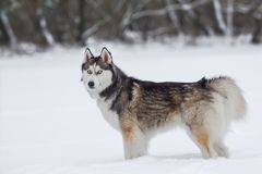 Happy young siberian husky is playing on frozen lake, on cold winter day, ground full of snow. Young and cute Siberian husky is running and playing on ice of stock photo