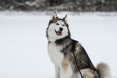 Happy young siberian husky is playing on frozen lake, on cold winter day, ground full of snow. Young and cute Siberian husky is running and playing on ice of stock photos