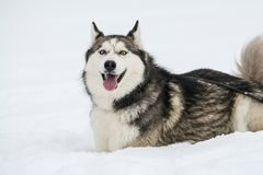 Happy young siberian husky is playing on frozen lake, on cold winter day, ground full of snow. Young and cute Siberian husky is running and playing on ice of royalty free stock photography