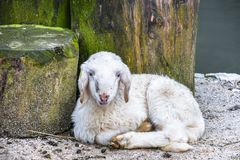 Young cute small baby snow white sheep resting on the sandy floor royalty free stock images