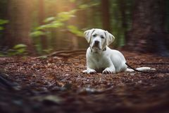 Young cute white labrador retriever dog puppy lies on the ground of the forest Stock Photography