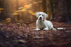 Young cute white labrador retriever dog puppy lies on the ground of the forest Royalty Free Stock Photos