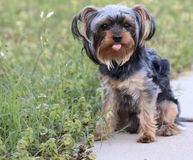 Young cute yorkie puppy sticking out his tongue stock photo