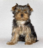 Young cute Yorkshire Terrier puppy posing on a white background. pet. Yorkshire Terrier (eng. Yorkshire terrier or York — decorative dog breed, bred in Royalty Free Stock Images