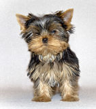 Young cute Yorkshire Terrier puppy posing on a white background. pet. Yorkshire Terrier (eng. Yorkshire terrier or York — decorative dog breed, bred in Stock Images