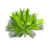 Young cycas in color Royalty Free Stock Images