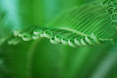 Young cycas leaf. Close detail of young cycas leaf with spirals Royalty Free Stock Photos