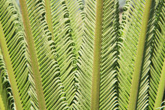 Young cycas leaves Royalty Free Stock Images