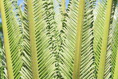 Young cycas leaves Royalty Free Stock Photo
