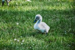 Young cygnet Royalty Free Stock Photos