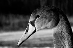 A young Cygnet - in black and white. A young swan cygnet in black and white stock photos