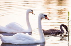 Young cygnet with its parents Stock Photo