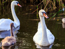 Young cygnet with its parents Royalty Free Stock Photography