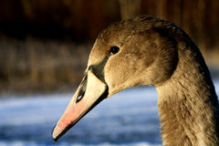 A young Cygnet - Swan. A close up shot of a young Cygnet royalty free stock photo