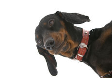 Young dachshund  (Age  1 year ) Royalty Free Stock Photo