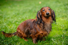 Young dachshund on grass Royalty Free Stock Photo