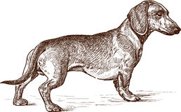 Young dachshund Stock Images