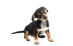 young dachshund Stock Image