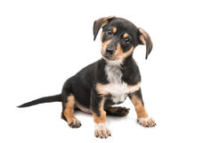 young dachshund Royalty Free Stock Photography