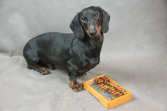 Young dachshund and wooden abacus Stock Photos