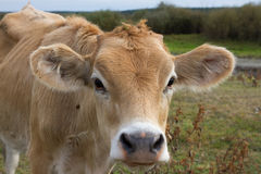 Young dairy cow head. Farm, agriculture in village Stock Photos