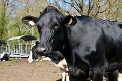 Young dairy cow or heifer