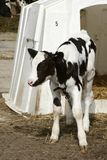 Young dairy cow by shelter. Young black and white dairy cow stood in front of shelter stock image