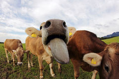 A young dairy cow stretched out his tongue Stock Photos