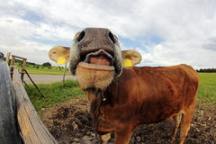 A young dairy cow stretched out his tongue Stock Images