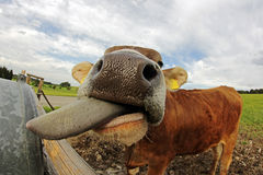 A young dairy cow stretched out his tongue Royalty Free Stock Photo