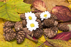 Young daisy and cones, autumn composition Stock Image