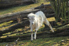 Young dall sheep royalty free stock images