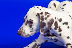 Young dalmatian Stock Image