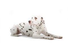 Young Dalmatian royalty free stock photos