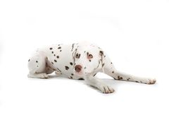Young Dalmatian royalty free stock images