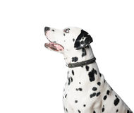 Young dalmatian dog in leather collar on white background. Royalty Free Stock Photography