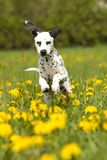 Young dalmatian jumping through dandelion Royalty Free Stock Photography