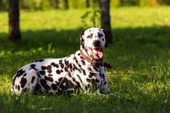 Dalmatian in forest. Young dalmatian lies on grass and looking on you at sunny day Royalty Free Stock Photography