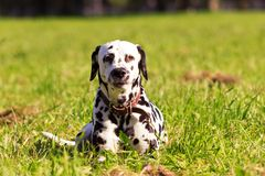 Dalmatian in forest. Young dalmatian lies and looking on you at sunny day Royalty Free Stock Photos