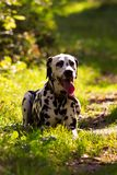 Dalmatian in forest. Young dalmatian lies at pathway and looking on you at sunny day Stock Images