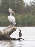 Young Dalmatian pelican and cormorant. Stock Photo