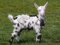 Young Dalmatian pied goat standing on the grass, head straight and tall, ears wide, black feet. stock photos