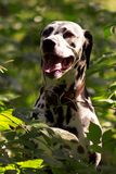 Dalmatian in forest. Young dalmatian portrait in leaves, looking forward at sunny day Stock Image