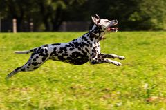 Dalmatian in forest. Young dalmatian running and looking forward at sunny day Stock Photography