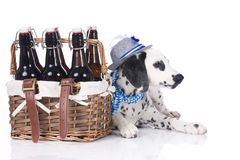 Young dalmatian sitting beside beer bottles Royalty Free Stock Photography