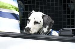 Young dalmatian sitting in car boot Royalty Free Stock Images