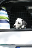 Young dalmatian sitting in car boot Royalty Free Stock Image